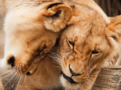 yb-fox-lions