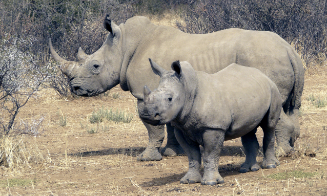 yb-rhino1