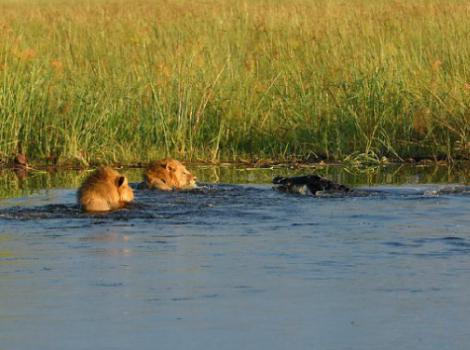 yb-croc-lions