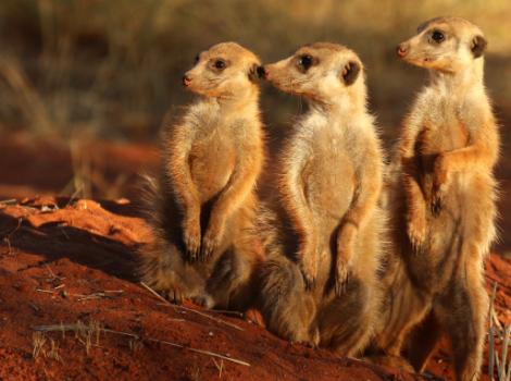 yb-meerkats