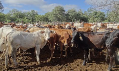 yb-zimbabwe-cattle