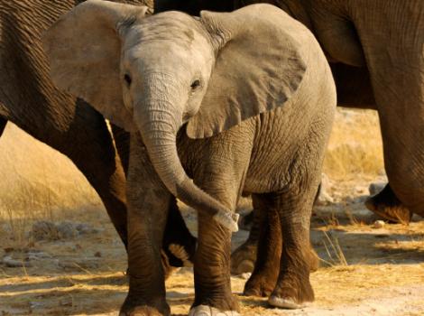 yb-baby-elephant