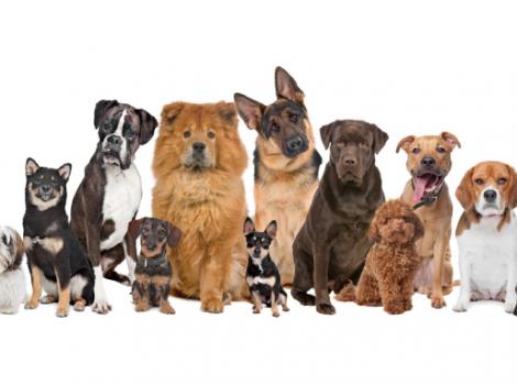 yb-dogs