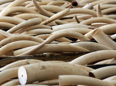 yb-ivory