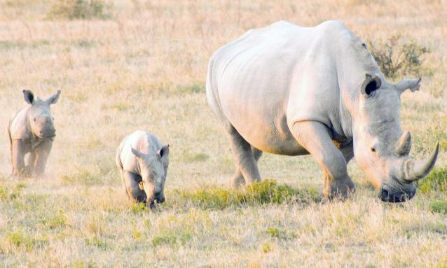 yb-rhinos