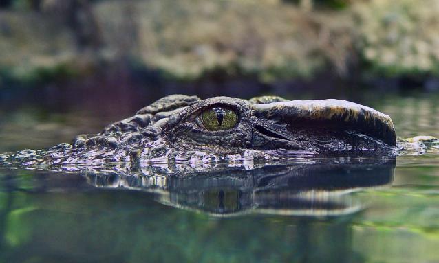 yb-crocodile