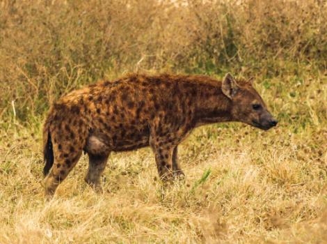 yb-hyena