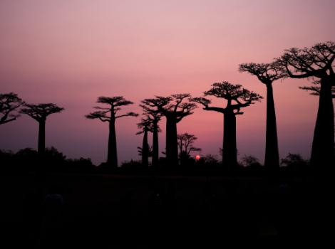 yb-baobab-trees