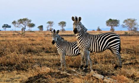 yb-zebras