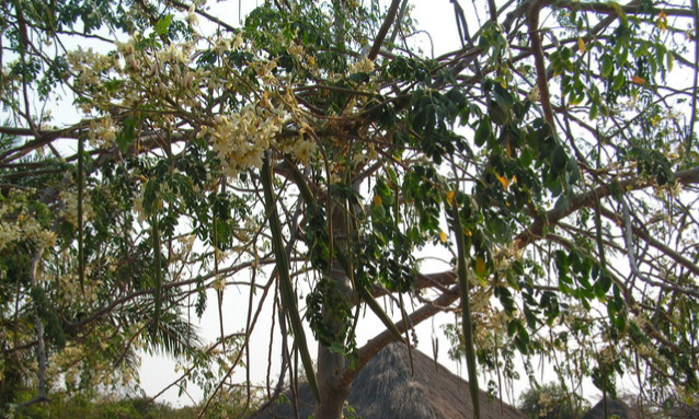 yb-chinese-moringa-farmer
