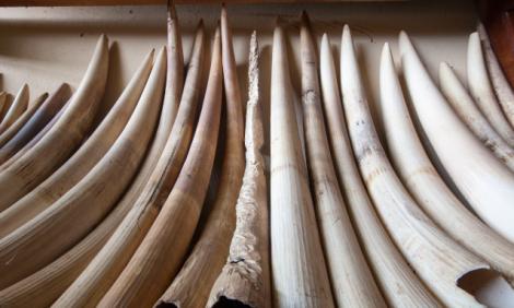 yb-ivory-stock-pile