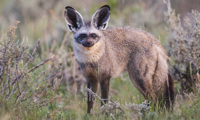 bat-eared-fox