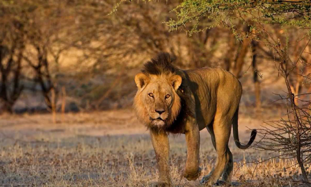 kalahari-game-reserve-lion