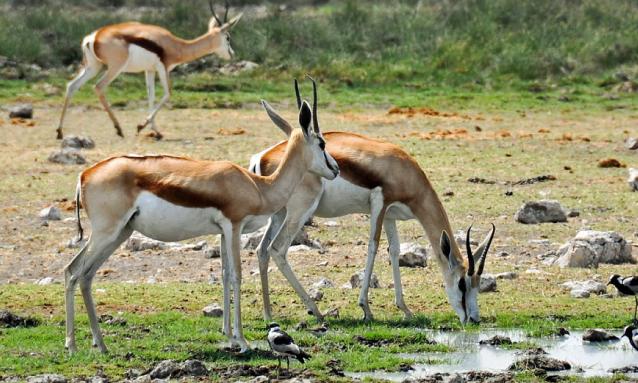 yb-springbok