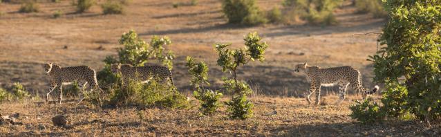 cheetah-x3