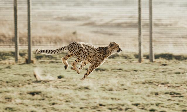 yb-cheetah