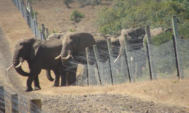 elephant-conflict-1