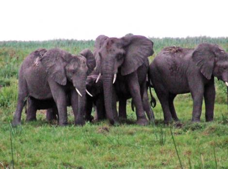 yb-hunting-ban-protect-elephants
