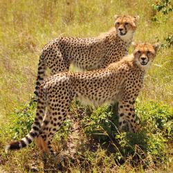 cheetah-x2