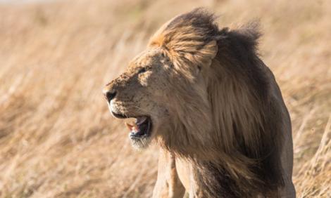 yb-lion-dry-season