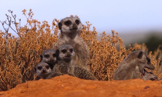 yb-meerkats-kalahari